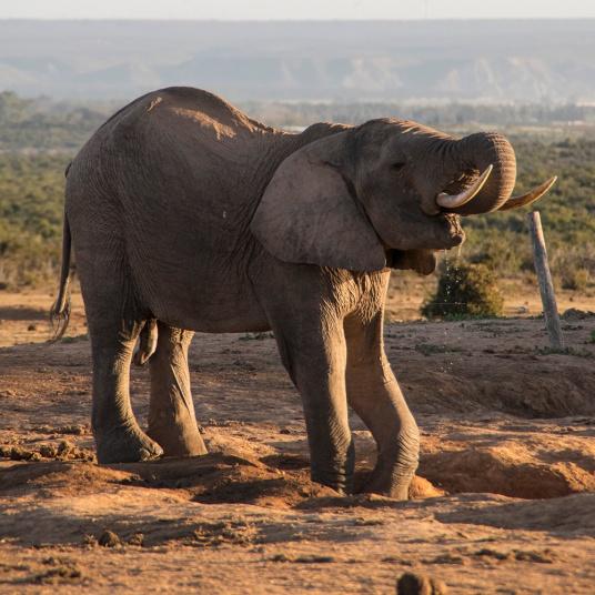 Elefante bebiendo agua al atardecer