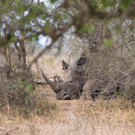 Rinoceronte echando la siesta